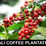 coffee-beans-bali